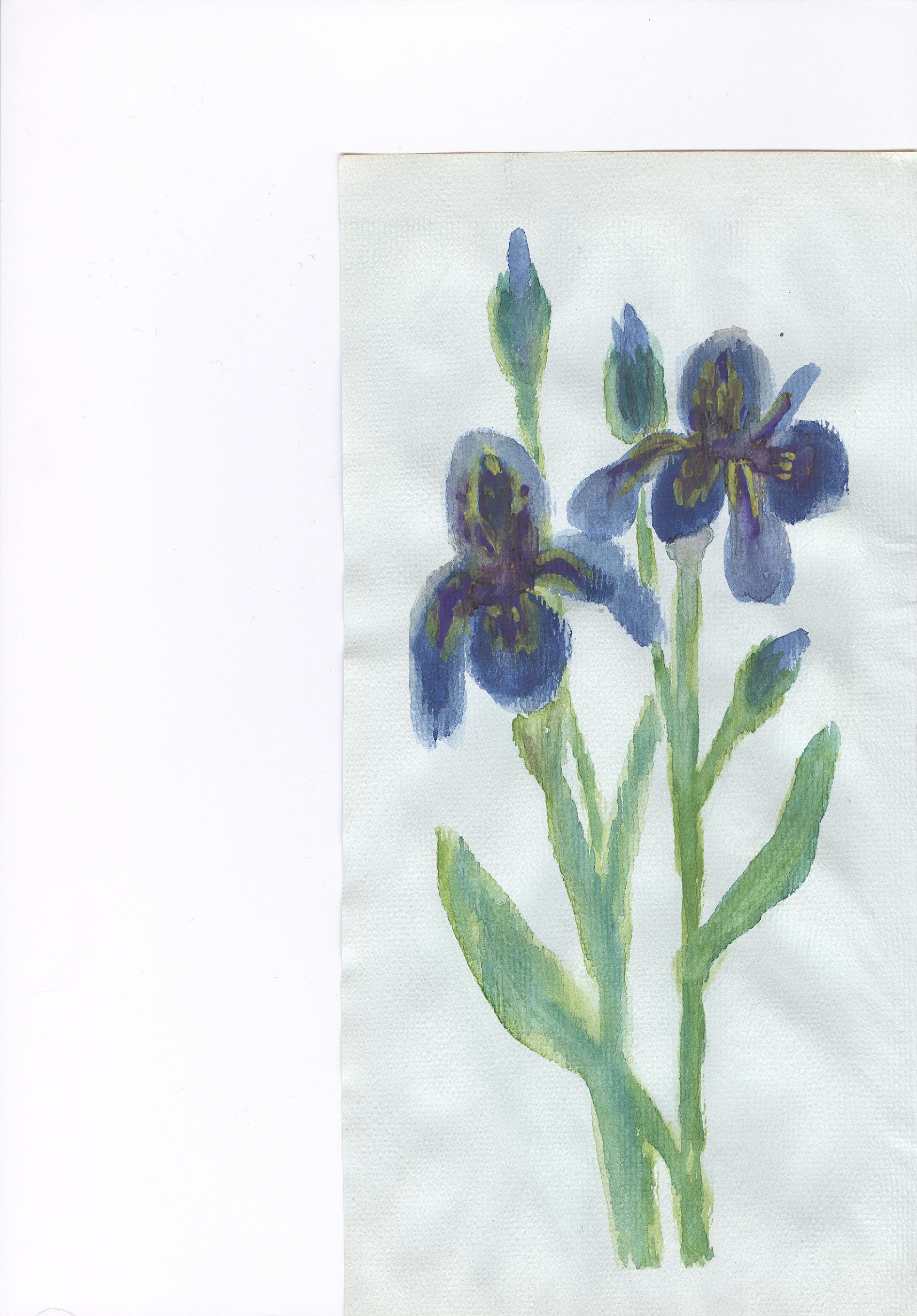 irisversicolore.jpg